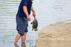 Catch the tortoise. The Snapping turtle was caught by a man Stock Photography