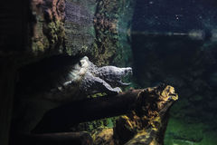 The snapping turtle in the water. Adult snapping turtle has been standing in the water on the wood open their mouth like to bite Stock Photos