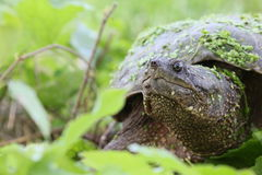 Snapping turtle. Wet snapping turtle among leaves Royalty Free Stock Photo