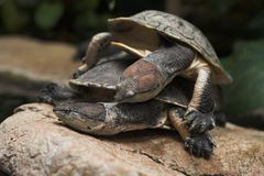Snapping Turtles. In love Royalty Free Stock Photography