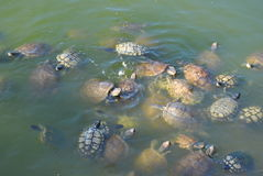 Snapping turtles everywhere. A lot of snapping turtles in a pond stock photography