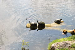 Snapping turtles on log. Snapping turtles sunbathing on a log on Jamaica in the Caribbean royalty free stock images