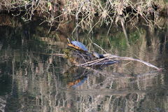 Snapping Turtles Mom & Child on Log in River Stock Photos