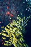 Snappners Bluelined Στοκ φωτογραφία με δικαίωμα ελεύθερης χρήσης