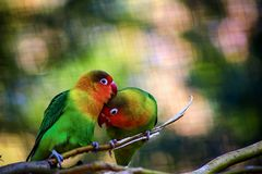 Two lovely green parrots on branch royalty free stock image