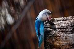 Blue flying parrot biting a branch. Snapshot of small wild cute blue and white bird biting a wooden branch royalty free stock photo