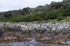 Snares Penguin, Eudyptes robustus. Snares Penguin (Eudyptes robustus) colony on The Snares, a subantarctic Island group south off New Zealand royalty free stock photos