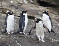 Snares Penguin, Eudyptes robustus. Four Snares Penguins (Eudyptes robustus) standing on The Snares, a subantarctic Island group south off New Zealand stock photography