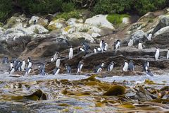 Snares Penguin, Eudyptes robustus. A group of Snares Penguins (Eudyptes robustus) in a breeding colony on The Snares, a subantarctic Island group south off New royalty free stock images