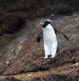 Snares Penguin, Eudyptes robustus. Snares Penguin (Eudyptes robustus) jumping down from a rock on The Snares, a subantarctic Island group south off New Zealand royalty free stock photo
