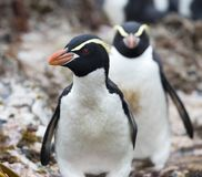Snares Penguin, Eudyptes robustus. Snares Penguin (Eudyptes robustus) on The Snares, a subantarctic Island group south off New Zealand royalty free stock image