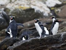 Snares Penguin, Eudyptes robustus. Snares Penguin (Eudyptes robustus) on The Snares, a subantarctic Island group south off New Zealand royalty free stock photos