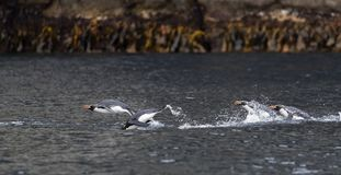 Snares Penguin, Eudyptes robustus. Swimming Snares Penguins (Eudyptes robustus) on The Snares, a subantarctic Island group south off New Zealand stock photo