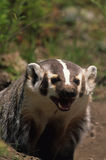 Snarling Badger Stock Image