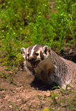 Snarling Badger at Den Stock Photo