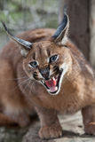 Snarling caracal. A caracal protecting it's ground, South Africa Royalty Free Stock Photos