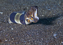 Snarling clown snake eel Royalty Free Stock Photography