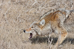 Snarling Coyote. A fierce, snarling coyote with mouth open and hackles up. Near Radium Hot Springs, British Columbia, Canada stock images