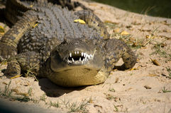 Snarling Crocodile Royalty Free Stock Image