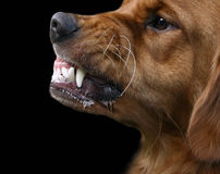 Snarling dog. Golden retriever dog growling or snarling with a big display of teeth, beware of dog Royalty Free Stock Photo
