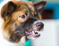 Snarling dog face threats Stock Image