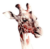 Snarling Giraffe Illustration Royalty Free Stock Image