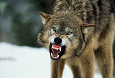 Snarling Gray Wolf Royalty Free Stock Photos