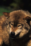 Snarling Gray Wolf. A gray wolf snarls a warning Royalty Free Stock Photography