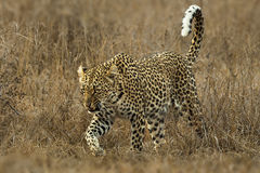 Snarling Leopard Royalty Free Stock Images
