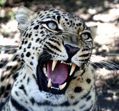 Snarling Leopard with Huge Teeth Royalty Free Stock Images