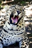Snarling Leopard with Huge Teeth. Beuatiful Leopard wild cat with large fangs and snarling royalty free stock photos