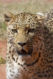 Snarling Leopard with Long Whiskers Royalty Free Stock Photos