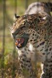 Snarling leopard portrait. The Snarling wild leopard portrait stock images
