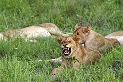 Snarling Lion Royalty Free Stock Images