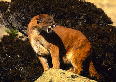 Snarling Lion on Rock. An agitated mountain lion snarls while standing on a rock Royalty Free Stock Image