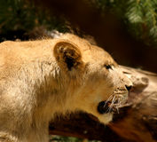 Snarling Lioness Stock Image