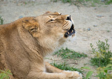 Snarling lioness Stock Images