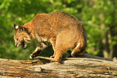Snarling lynx crossing a log Stock Images