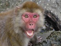 Snarling Monkey Stock Photo