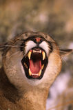 Snarling Mountain Lion Royalty Free Stock Photography