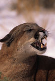 Snarling Mountain Lion Stock Image