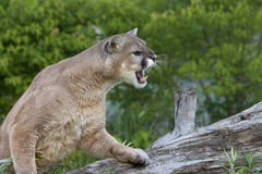 Snarling Mountain Lion Royalty Free Stock Images