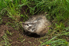 Snarling North American Badger (Taxidea taxus) Royalty Free Stock Photo