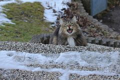 A snarling Norwegian Forest Cat Stock Photos