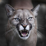Snarling Puma. A North American Puma snarling towards camera. The photo features a tight crop of the head and shoulders of the Puma in portrait royalty free stock photo