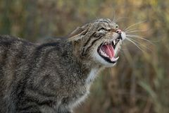 Snarling scottish wild cat. A very close up detailed portrait of a scottish wildcat snarling and showing its teeth facing right Royalty Free Stock Photography