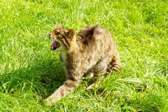 Snarling Scottish Wildcat Stock Image