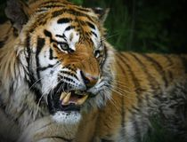 Snarling Siberian Tiger Royalty Free Stock Images