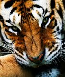 Snarling Siberian Tiger. Close cropped head photograph of large Siberian Tiger. Snarling and looking towards the viewer stock photos