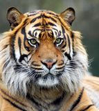 Snarling Siberian Tiger. Close cropped head photograph of large Siberian Tiger staring towards the viewer stock photos